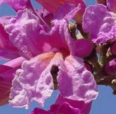cropped-arbol-lapacho